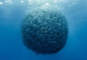 Fish coherence
