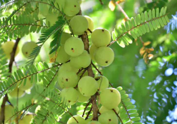 What is amla?
